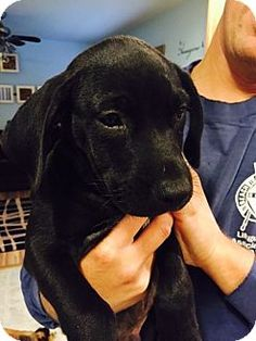 Hammonton, NJ - Labrador Retriever/Spaniel (Unknown Type) Mix. Meet Phantom, a puppy for adoption. http://www.adoptapet.com/pet/11809347-hammonton-new-jersey-labrador-retriever-mix