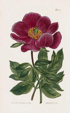 Crimson-Flowered Peony – William Curtis Botanical Magazine Antique Prints 1787-1817
