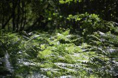 Pteridium aquilinum, eagle fern, fougère-Aigle, コバノイシカグマ科ワラビ属ワラビ June 2015