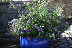 Summer Flowers Part Blue Potato Bush Purple Flowering Bush, Flowering Bushes, Summer Flowers, Blue Flowers, Blue Potatoes, Arizona Gardening, Parts Of A Flower, Plant Catalogs, Low Maintenance Plants