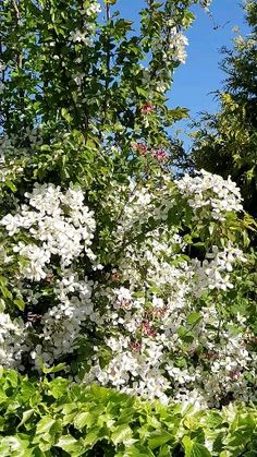 Garden Shrubs, Shade Garden, Garden Plants, Clematis Plants, Balcony Garden, Clematis Flower, Backyard Shade, Flowers Garden, Planting Flowers