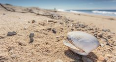 Seashell on Herring Cove beach in Provincetown, Cape Cod. © Dapixara.