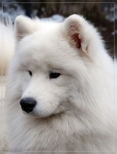 "Samoyed I love their ears...I miss my ""Augie"""