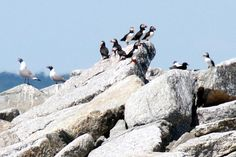 Atlantic Puffins nest in the Boothbay Harbor, Maine ~ soo cool ~