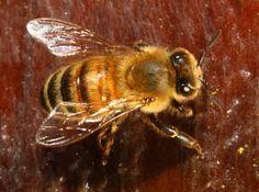 Homestead Revival: Choosing A Bee Breed