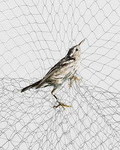 """Todd Forsgren photographs birds caught between the wild and captivity. These birds are tangled up in """"mist nets"""" – giant webs made from thin, nylon mesh suspended between poles, designed to capture the birds so ornithologists can study them up close. They are carefully extracted and, once the data is collected, released unharmed, usually moments later. If it still seems a little inhumane, consider this: Victorian artists who wanted to study birds up close, used shotguns."""