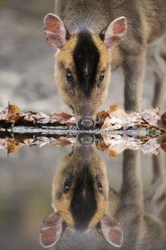 Muntjac Deer - Nice Reflection Photo