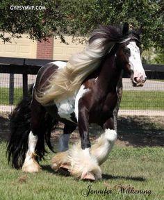 Gypsy Vanner Horse | Mare | Piebald | Memory