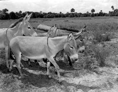 Johnson, Francis P. Donkeys at Africa USA - Boca Raton, Florida. 1953. Black & white photoprint, 4 x 5 in. State Archives of Florida, Florida Memory. <https://www.floridamemory.com/items/show/71813>, accessed 18 October 2016. Courtesy: State Archives of Florida, Tallahassee, FL (USA)