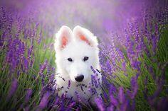 White swiss shepherd puppy Ira in lavender field Aussie Puppies, Cute Puppies, Dogs And Puppies, Collie, Pet Dogs, Dog Cat, White Swiss Shepherd, German Shepherd Puppies, German Shepherds