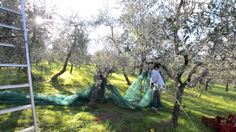 tuscany wine tasting tours out Florence, a day in the Chianti wine region  to pick up olives that will become the famous Tuscan extra vergin olive oil one of the most famous olive oil in Italy