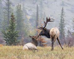 Bull and Cow Elk Jasper Canada. Elk Hunting Colorado, Elk Hunting Tips, Hunting Humor, Hunting Art, Coyote Hunting, Pheasant Hunting, Turkey Hunting, Archery Hunting, Hunting Videos