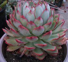 Echeveria Colorata X E. Pulidonis | succulentville80 | Flickr