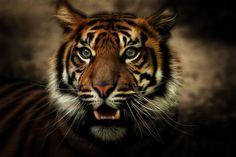 "Awesome :3  ""jungle cat"" by Johnny Brambach by Johnny Brambach on 500px"