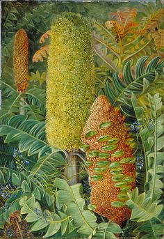 West Australian Shrubs  Location: Australia, West Australia  Plants: Banksia, Banksia grandis Comesperma, Comesperma volubile