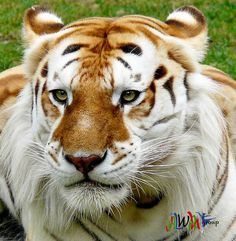 Golden Tabby Tiger-This type of rare tiger is only found in captivity. The coloring is a result of a recessive gene, and sometimes the Golden Tabby is also called the Strawberry Tiger. There are less than 30 of these tigers in existence. Rare Animals, Unique Animals, Animals And Pets, Strange Animals, Wild Animals, Beautiful Cats, Animals Beautiful, Big Cats, Cats And Kittens