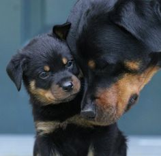 Rottweiler Mama and Pup