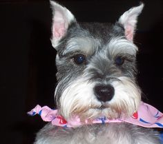 A sweet and Adorable mini schnauzer named Pepper Jack so so darling