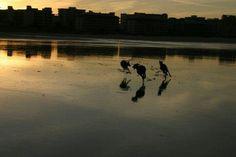 Mis galgas, DULCINEA, MILA y JIMENA jugando en la Playa Salvé de Laredo, Cantabria, España