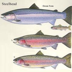 Steelhead Trout tips