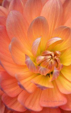 The Golden Peach Standard on Flickr.  Pam Howden Dahlia macro