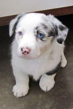 Cardigan Corgi Puppy This puppy is beautiful!