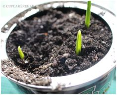How to grow your own garlic, indoors... in a coffee can!