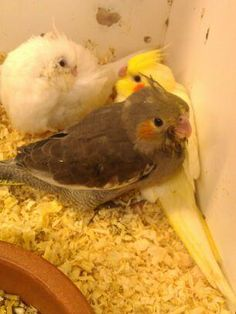 Babies!! I want another cockatiel!!  https://www.facebook.com/Cockatielz https://twitter.com/Cockatiel5