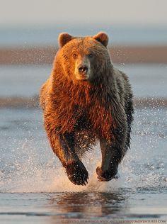 Alaska Brown Bear 2 by Natures Photo Adventures - David G Hemmings