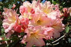 Hirsutum.info -- Rhododendron Hybrids/cultivars: 'Above All'