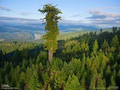 Dünyanın en uzun ağacı Hyperion.