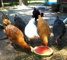 Great article on keeping chickens cool in summer!