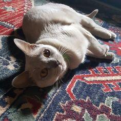 Lillie  #kitty #catsitting #burmese #suzspetservices #lovecats
