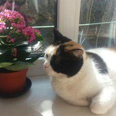 Один из победителей конкурса @alievawera  Гита несколько последних месяцев провела на подоконниках высматривая весну ) наконец-то ей можно расслабиться и насладиться мартовским солнышком #мой_кот_мартовский - #победитель