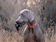 I hate when people look at me like I'm crazy when I ask if they hunt with their weimaraner...