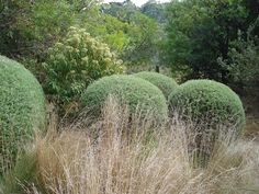 Clipped Westringea fruticosa Coastal Rosemary and the wild, soft Poa spp. Tussock Grass