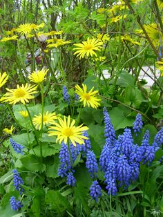 Doronicum orientale together with Muscari. They look nice together. Blue Flowers, Plants, Plant Combinations, Balcony Plants, Muscari, Ornamental Grasses, Plant Decor, Spring Flowers, Garden Design