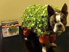 Lustige Halloween Kostüme für Hunde oder Katzen: Dog chia.