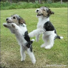 Wire Fox Terrier Puppies jumping for joy....I had one growing up, named Pepper! He was full of energy.