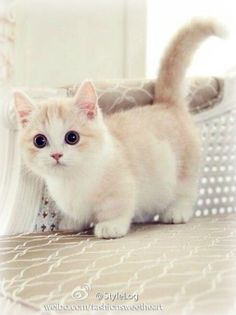 Look at those little legs! Super cute munchkin kitten.