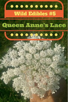 """Wild Edibles #5 - Queen Anne's Lace or Wild Carrot 
