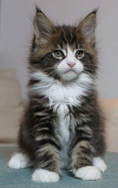 Maine Coon Kittens are so adorable but their are many things you need to know before you own this cat breed Adopting is a preferred option as many cats around the world a. Funny Cute Cats, Cute Cats And Kittens, Baby Cats, Cool Cats, Kittens Cutest, Funny Kittens, White Kittens, Kittens Playing, I Love Cats