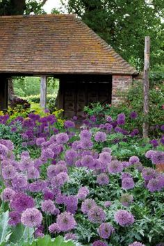 If you want your garden to look as wildly beautiful and strangely unkempt as this one, plant multiple, multiple perennials of the same kind in a vast space, and let them grow unencumbered for several years. You'll see results like this if you have the patience to wait! -- (Allium Mix in the Oast Garden at Perch Hill!)
