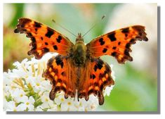 Comma Butterfly, a likeness to tattered leaves. Spring Flowers, Wild Flowers, Wildflower Tattoo, Butterflies Flying, Moth, Scotland, Creatures, Butterfly, Animals