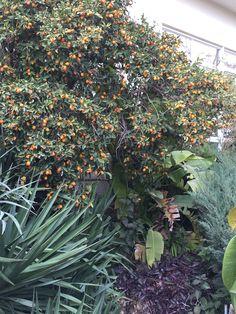 Naranjo kumquat