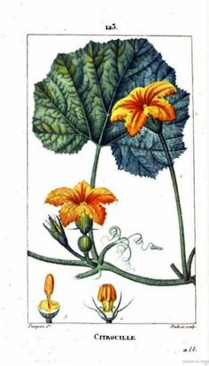 Painting of pumpkin leaves and blossoms. From Flore médicale, Volume 4, by François Pierre Chaumeton, Jean Louis Marie Poiret, and Jean Baptist Joseph Anne César Tyrbas de Chamberet. Published by Panckoucke, 1816 (on Google Books, original from the Complutense University of Madrid)