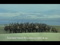 Reindeer Herds (2) On The Road To Teller~ Nome, Alaska https://youtu.be/...