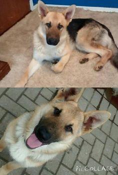 Lost Dog - German Shepherd/Purebred - Simcoe, ON, Canada N3Y 4K5