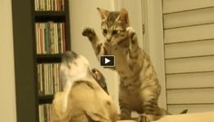 Pitbull vs. Kitten (VIDEO) Do you know how restrained that pitty is play like that with his kitty friend?