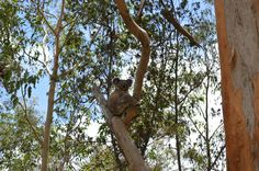 Koala - in the wild. It's rare to get eye contact (they're usually asleep)! Whole Food Recipes, Easy Meals, Backyard, Eyes, Health, Yard, Salud, Health Care, Backyards